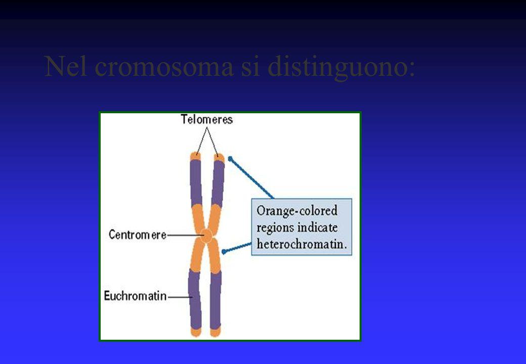 Gravità delle anomalie cromosomiche §La gravità è correlata al tipo di cromosoma e alla quantità di geni interessati §Tanto più grave è lo sbilanciamento cromosomico tanto più precoce sarà l'interruzione di gravidanza