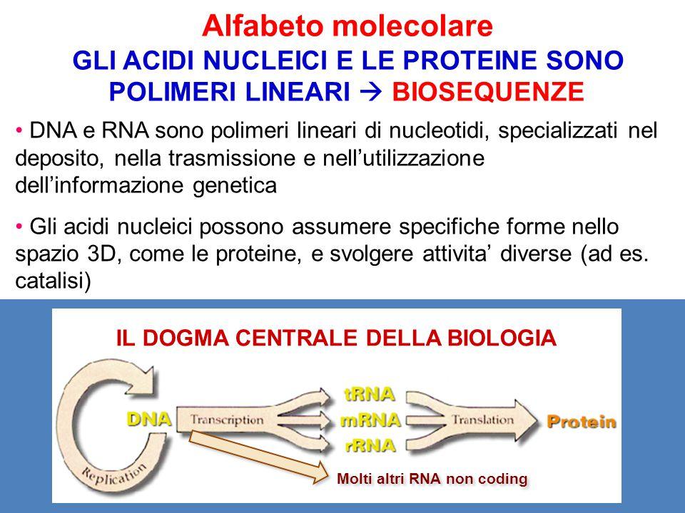 Alfabeto molecolare GLI ACIDI NUCLEICI E LE PROTEINE SONO POLIMERI LINEARI  BIOSEQUENZE DNA e RNA sono polimeri lineari di nucleotidi, specializzati