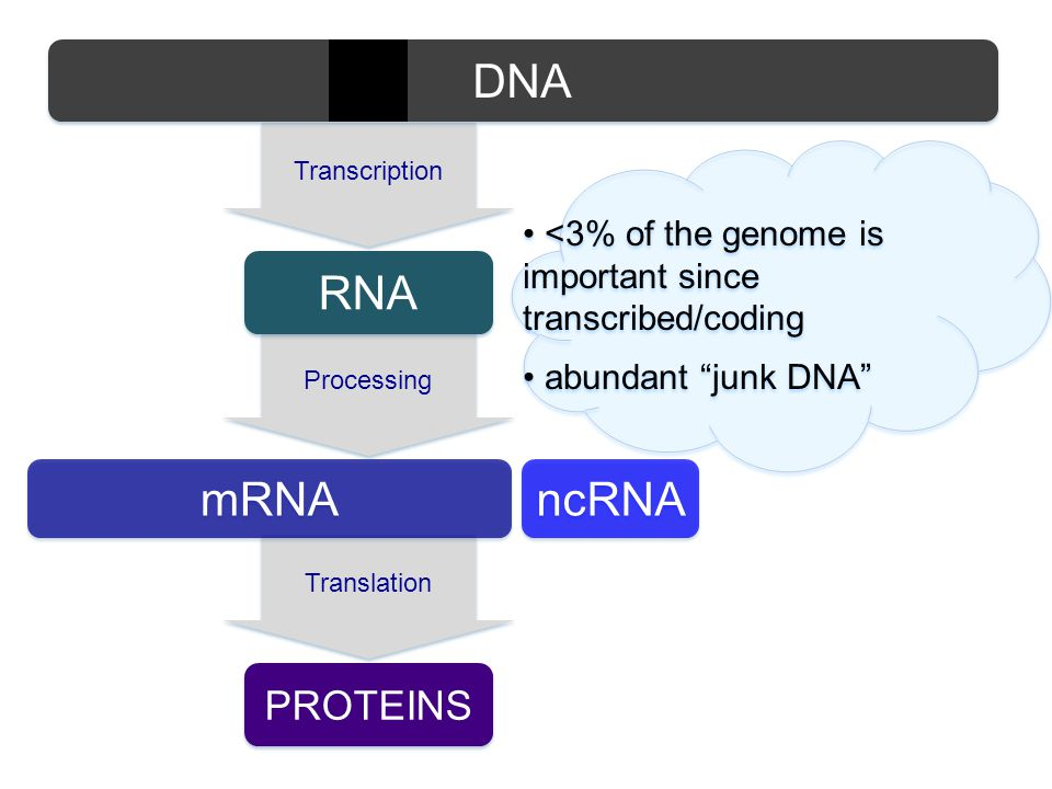 Translation PROTEINS mRNA Processing RNA Transcription ncRNA <3% of the genome is important since transcribed/coding abundant junk DNA <3% of the genome is important since transcribed/coding abundant junk DNA DNA