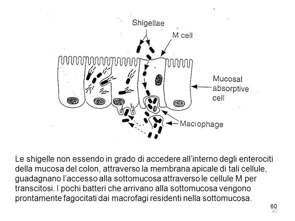 Le shigelle non essendo in grado di accedere all'interno degli enterociti della mucosa del colon, attraverso la membrana apicale di tali cellule, guad