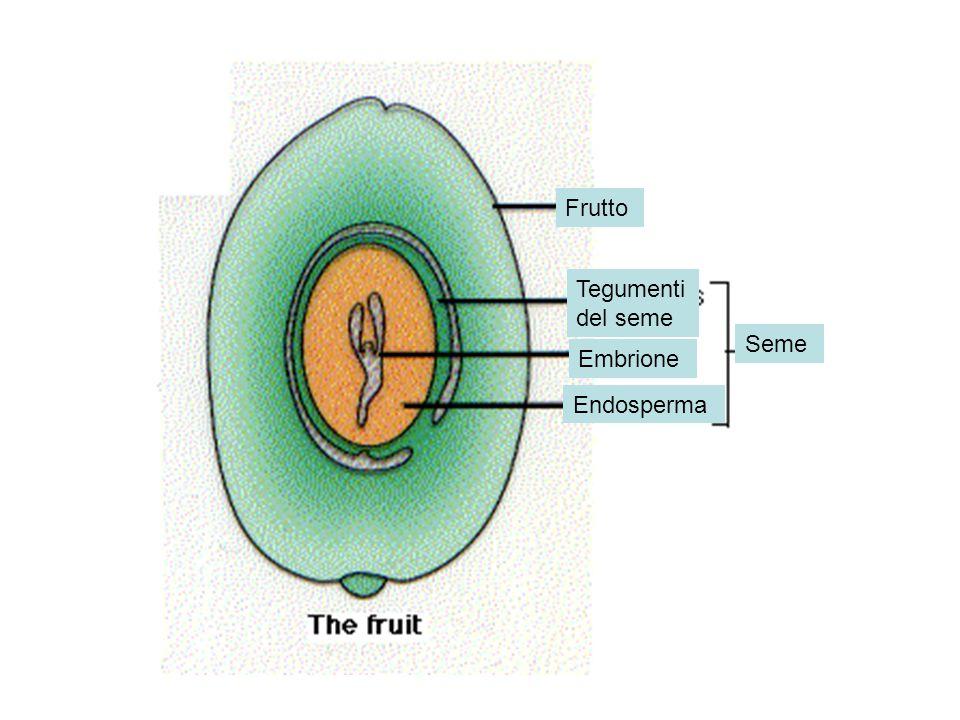 Frutto Tegumenti del seme Embrione Endosperma Seme