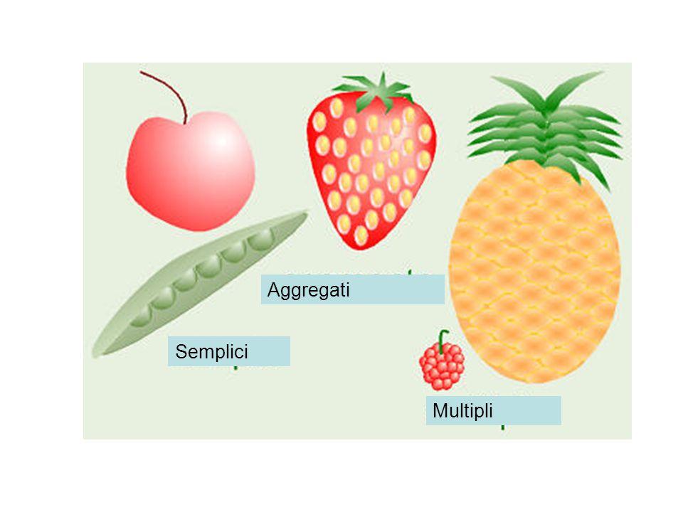 Frutti carnosi drupa, in cui il pericarpo si presenta distinto, in tre strati: l epicarpo, all esterno, di consistenza pellicolare; il mesocarpo, intermedio, costituito da una polpa succulenta e carnosa; l endocarpo, all interno, duro, lignificato, e contenente un solo seme Bacca: numerosi semi, ognuno protetto da un tegumento slerificato, mesocarpo ed Endocarpo sono molli