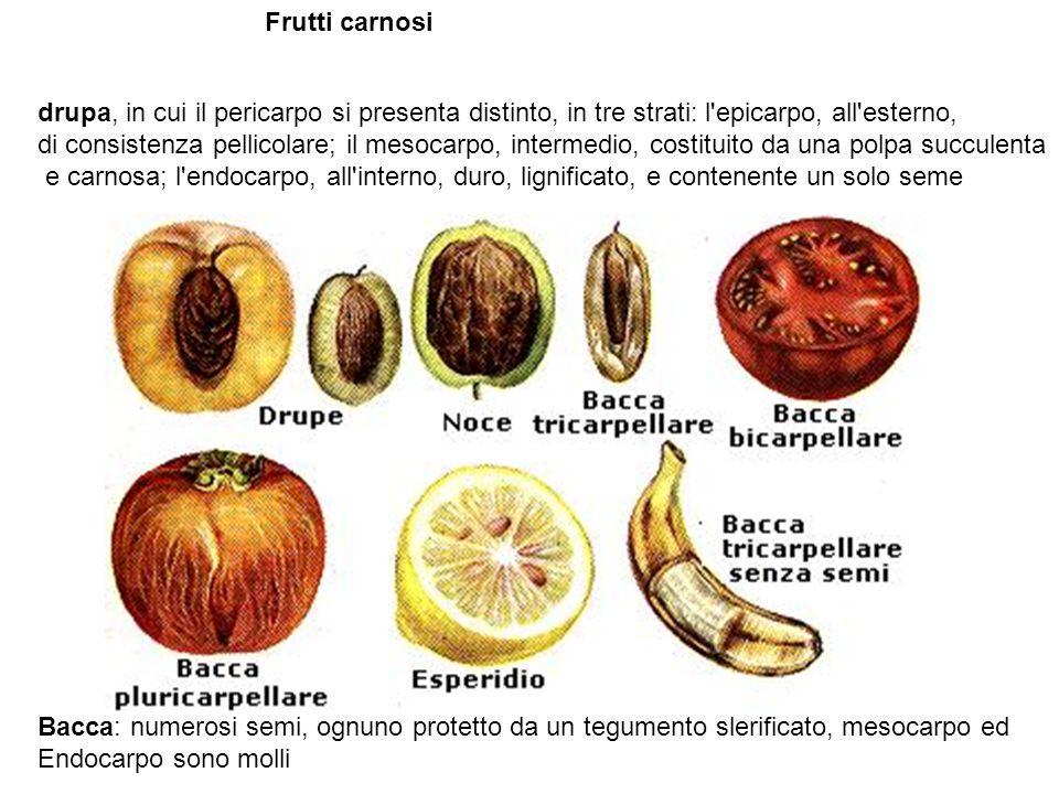 Frutti secchi (pericarpo più o meno duro e legnoso) indeiscenti (conservano integro il pericarpo attorno ai semi) Achenio: pericarpo più o meno indurito, unico seme non concresciuto con pericarpo; Ghianda: varietà di achenio con una cupola alla base; Samara: (frassino) e disamara (acero) acheni con una o due espansioni alari achenio ( Cariosside: È il frutto caratteristico delle Graminacee ed è caratterizzato da unGraminacee abbondante albume farinoso, ricco di amidoamido