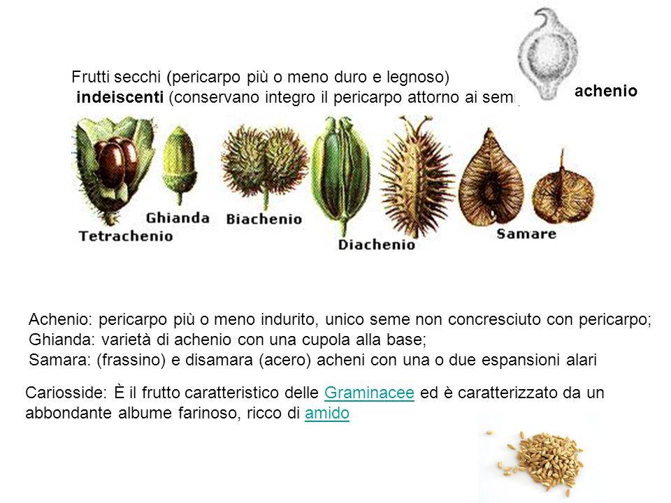 Frutti secchi (pericarpo più o meno duro e legnoso) indeiscenti (conservano integro il pericarpo attorno ai semi) Achenio: pericarpo più o meno induri