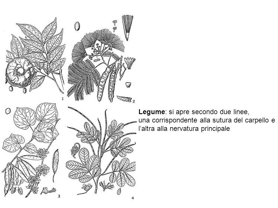 Legume: si apre secondo due linee, una corrispondente alla sutura del carpello e l'altra alla nervatura principale