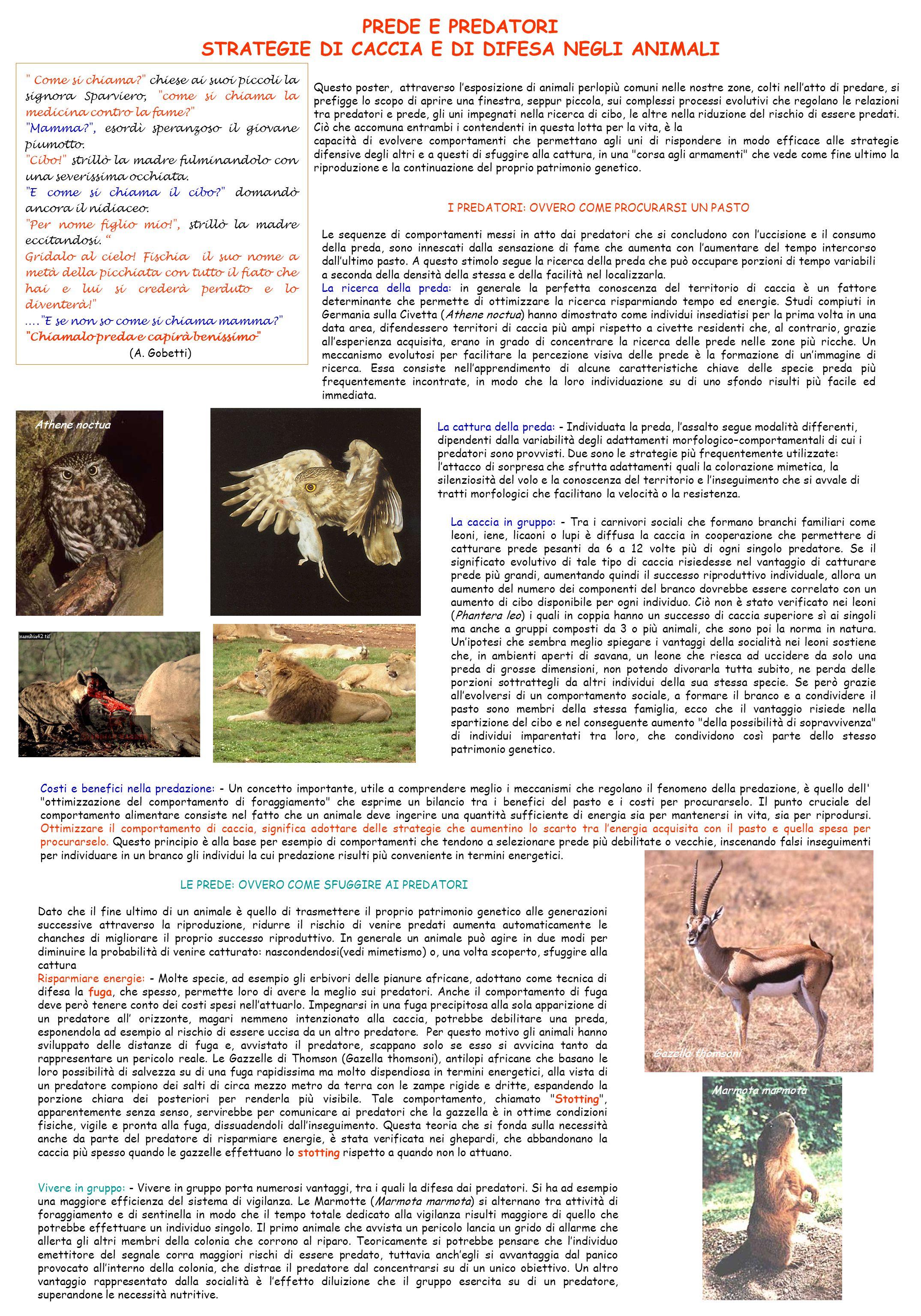 Vivere in gruppo: - Vivere in gruppo porta numerosi vantaggi, tra i quali la difesa dai predatori.