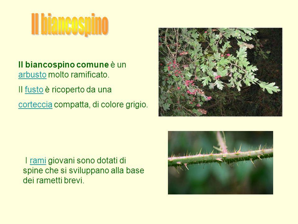 Il biancospino comune è un arbusto molto ramificato. arbusto Il fusto è ricoperto da unafusto cortecciacorteccia compatta, di colore grigio. I rami gi