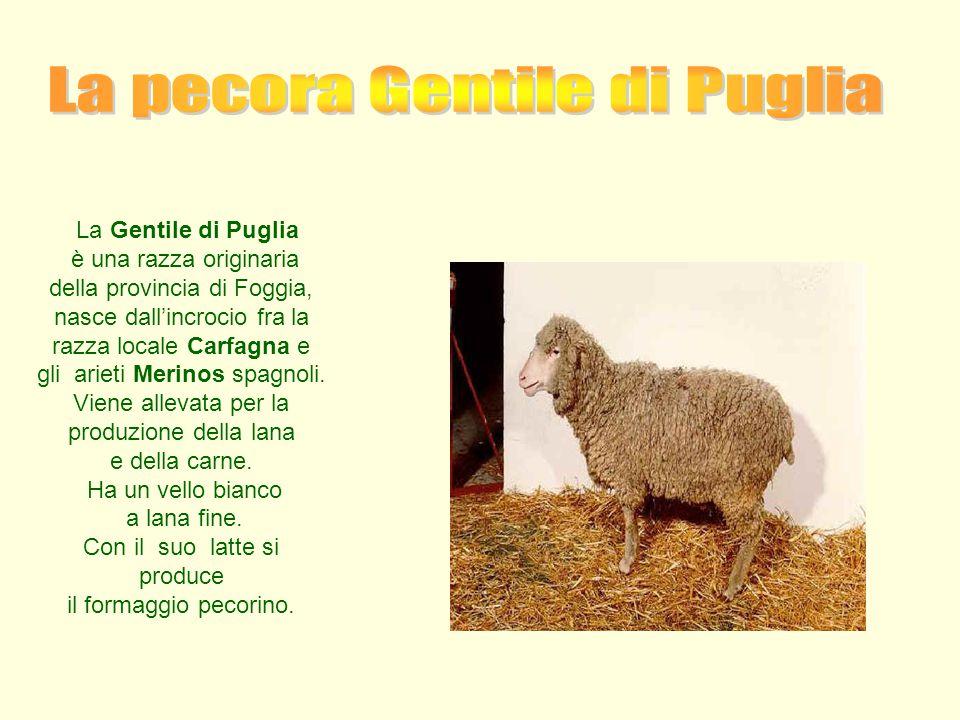 La Gentile di Puglia è una razza originaria della provincia di Foggia, nasce dall'incrocio fra la razza locale Carfagna e gli arieti Merinos spagnoli.
