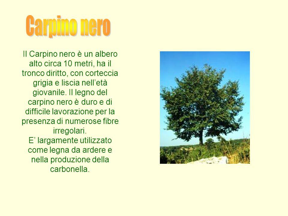 Il Carpino nero è un albero alto circa 10 metri, ha il tronco diritto, con corteccia grigia e liscia nell'età giovanile. Il legno del carpino nero è d