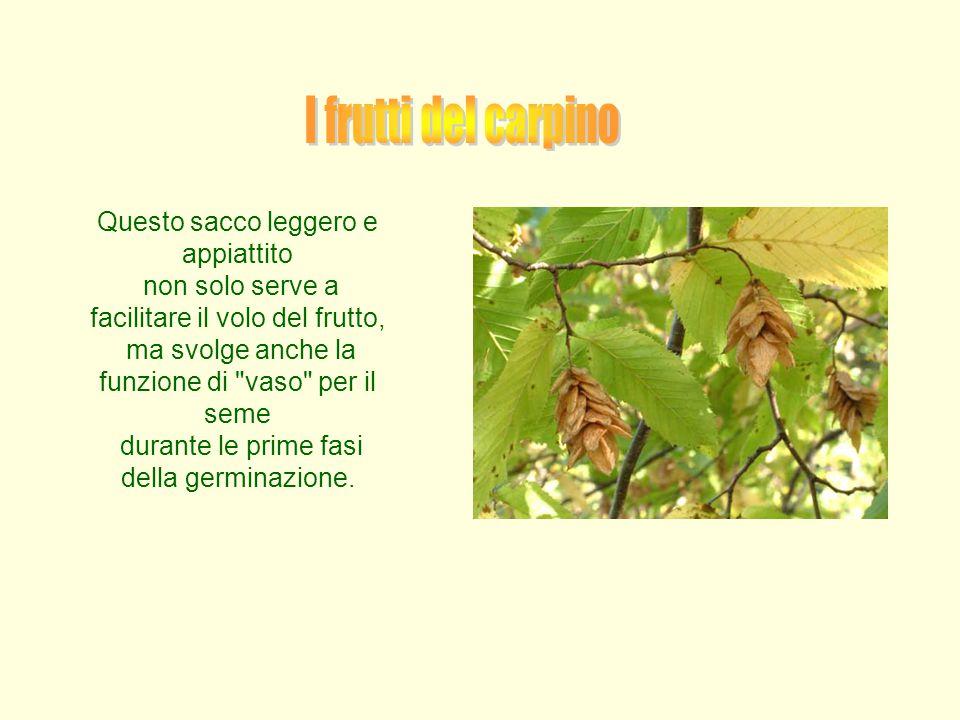 Questo sacco leggero e appiattito non solo serve a facilitare il volo del frutto, ma svolge anche la funzione di