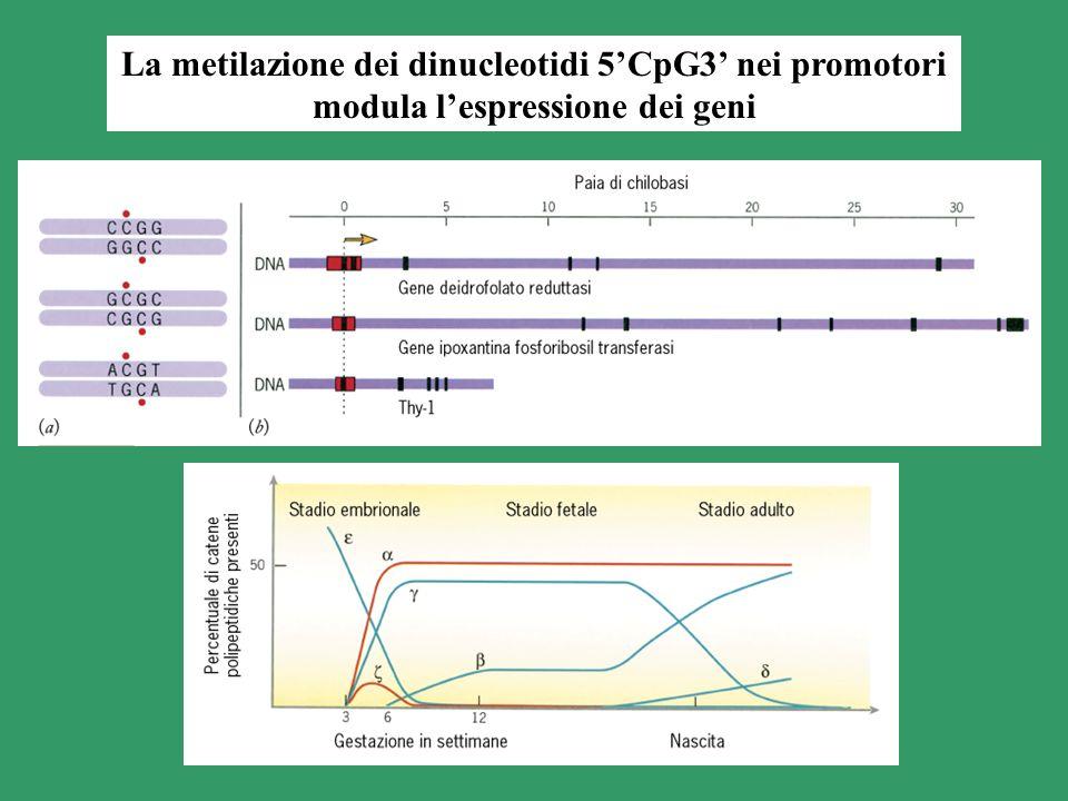 La metilazione dei dinucleotidi 5'CpG3' nei promotori modula l'espressione dei geni
