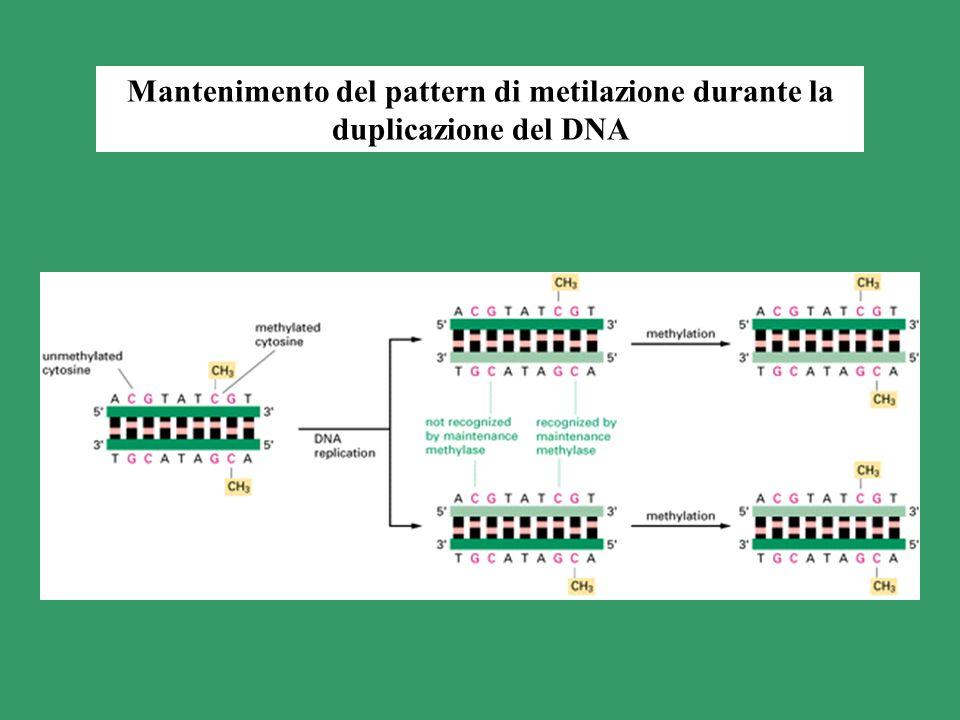 Mantenimento del pattern di metilazione durante la duplicazione del DNA
