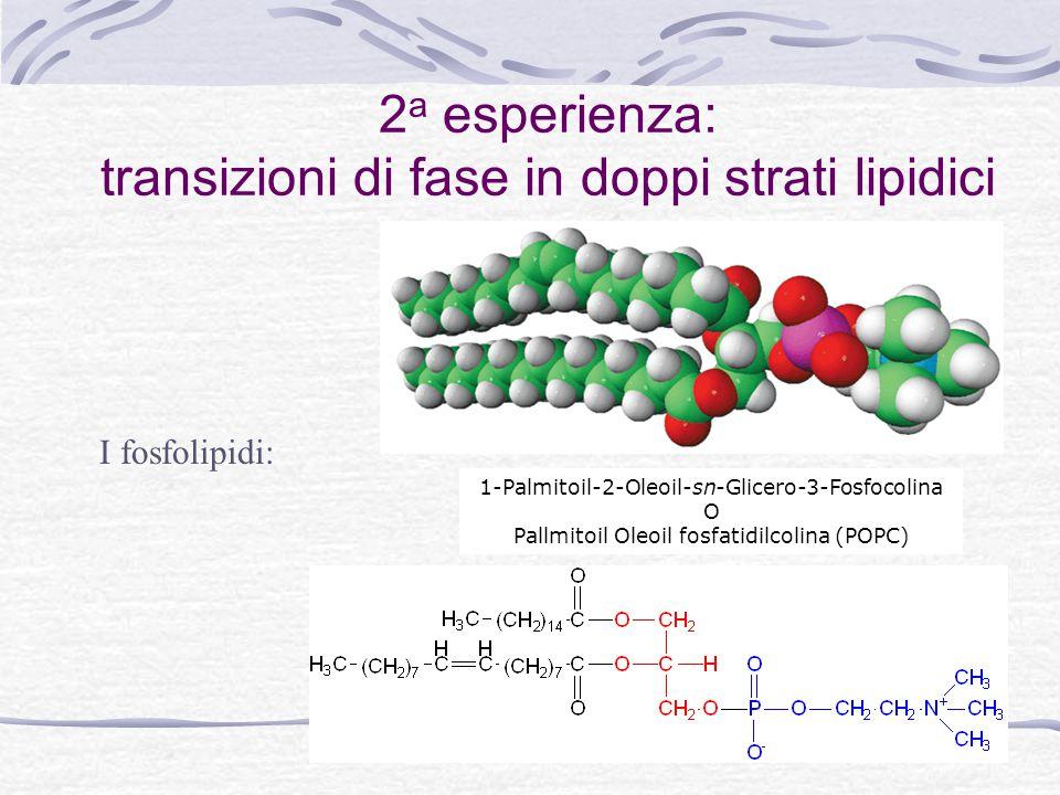 2 a esperienza: transizioni di fase in doppi strati lipidici 1-Palmitoil-2-Oleoil-sn-Glicero-3-Fosfocolina O Pallmitoil Oleoil fosfatidilcolina (POPC) I fosfolipidi: