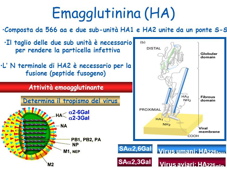 Emagglutinina (HA) Attività emoagglutinante Composta da 566 aa e due sub-unità HA1 e HA2 unite da un ponte S-S Il taglio delle due sub unità è necessa