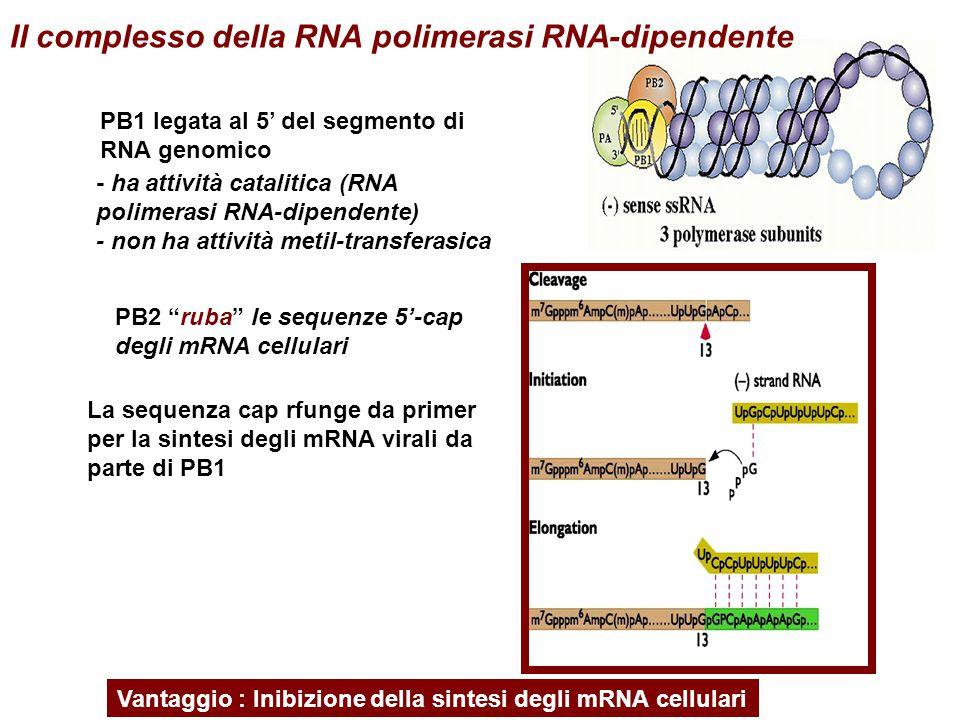 """La sequenza cap rfunge da primer per la sintesi degli mRNA virali da parte di PB1 Vantaggio : Inibizione della sintesi degli mRNA cellulari PB2 """"ruba"""""""