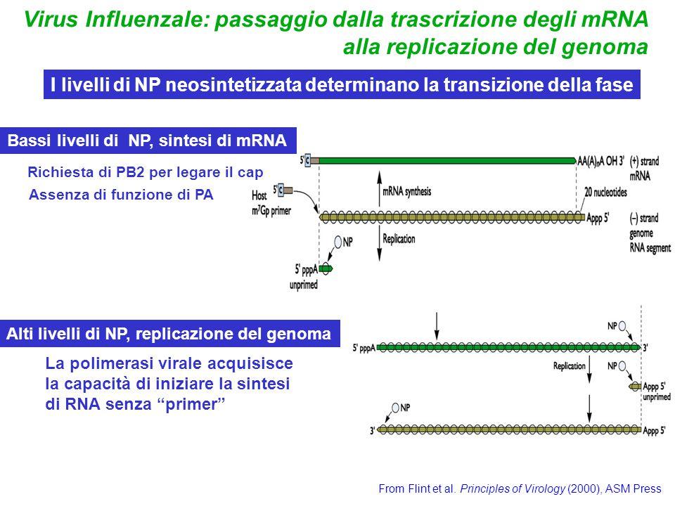 Virus Influenzale: passaggio dalla trascrizione degli mRNA alla replicazione del genoma From Flint et al. Principles of Virology (2000), ASM Press I l