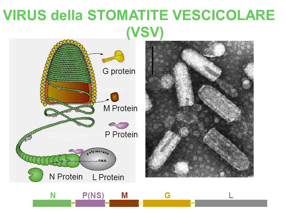 N Protein P Protein M Protein L Protein G protein VIRUS della STOMATITE VESCICOLARE (VSV) NP(NS)MGL