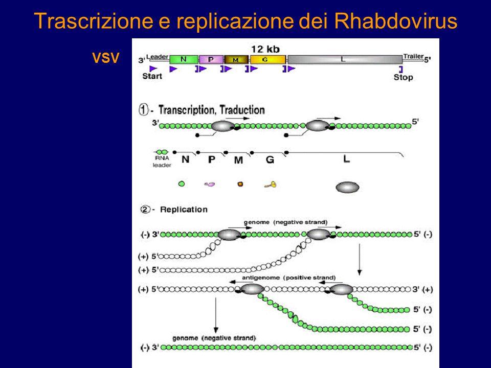 ENDOCITOSI Assemblaggio e gemmazione Trascrizione mRNA Trascrizione vRNA
