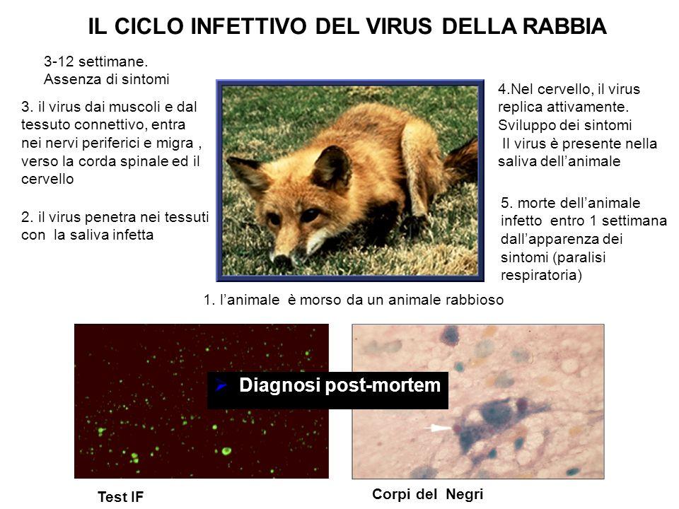 1. l'animale è morso da un animale rabbioso IL CICLO INFETTIVO DEL VIRUS DELLA RABBIA 2. il virus penetra nei tessuti con la saliva infetta 3. il viru