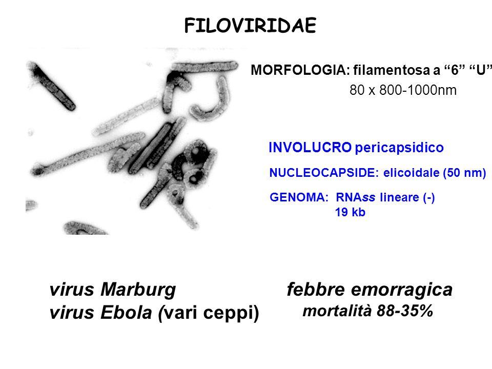 "NUCLEOCAPSIDE: elicoidale (50 nm) GENOMA: RNAss lineare (-) 19 kb INVOLUCRO pericapsidico FILOVIRIDAE 80 x 800-1000nm MORFOLOGIA: filamentosa a ""6"" ""U"