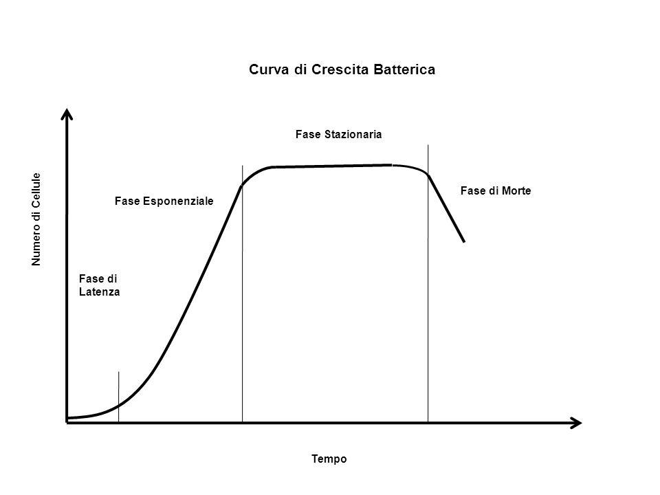 Fase di Latenza Fase Esponenziale Fase Stazionaria Fase di Morte Tempo Numero di Cellule Curva di Crescita Batterica