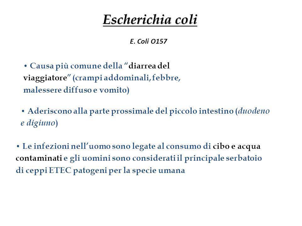 """Escherichia coli Causa più comune della """"diarrea del viaggiatore"""" (crampi addominali, febbre, malessere diffuso e vomito) Aderiscono alla parte prossi"""