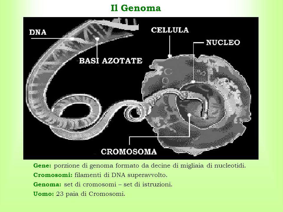 Il Genoma Gene: porzione di genoma formato da decine di migliaia di nucleotidi. Uomo: 23 paia di Cromosomi. Genoma: set di cromosomi – set di istruzio