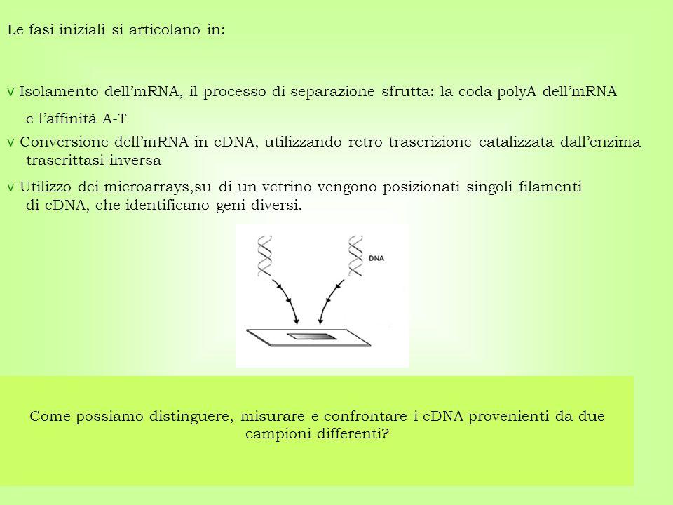 v Isolamento dell'mRNA, il processo di separazione sfrutta: la coda polyA dell'mRNA e l'affinità A-T Come possiamo distinguere, misurare e confrontare