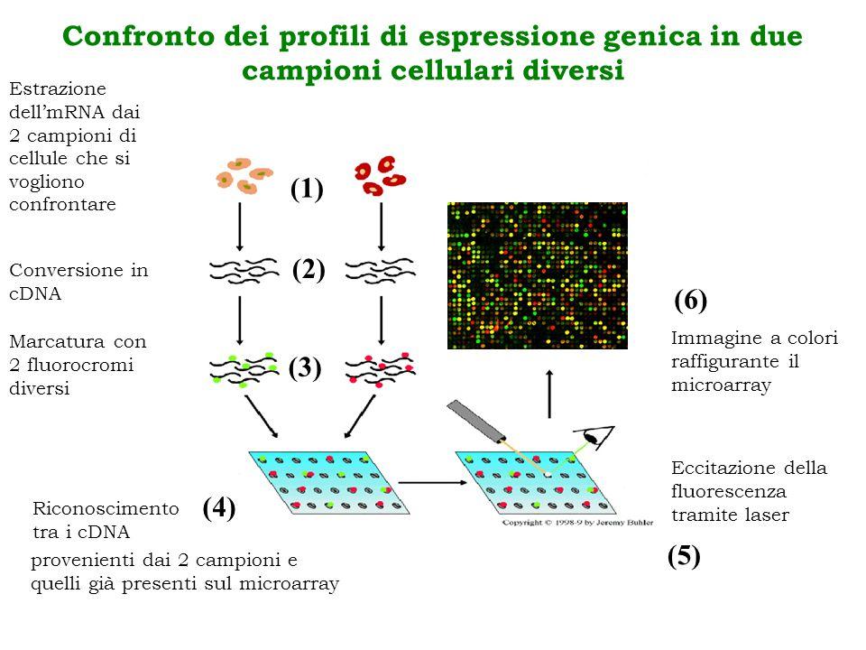 Eccitazione della fluorescenza tramite laser (5) Immagine a colori raffigurante il microarray (6) Confronto dei profili di espressione genica in due c