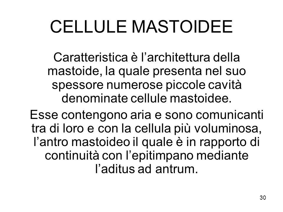 30 CELLULE MASTOIDEE Caratteristica è l'architettura della mastoide, la quale presenta nel suo spessore numerose piccole cavità denominate cellule mas