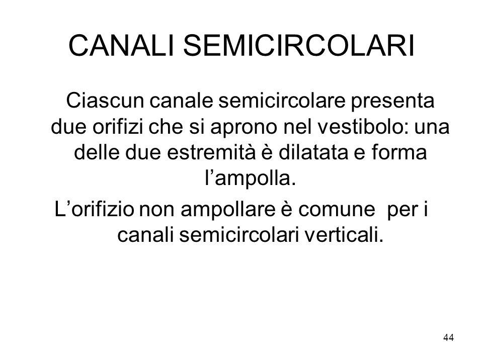 CANALI SEMICIRCOLARI Ciascun canale semicircolare presenta due orifizi che si aprono nel vestibolo: una delle due estremità è dilatata e forma l'ampol