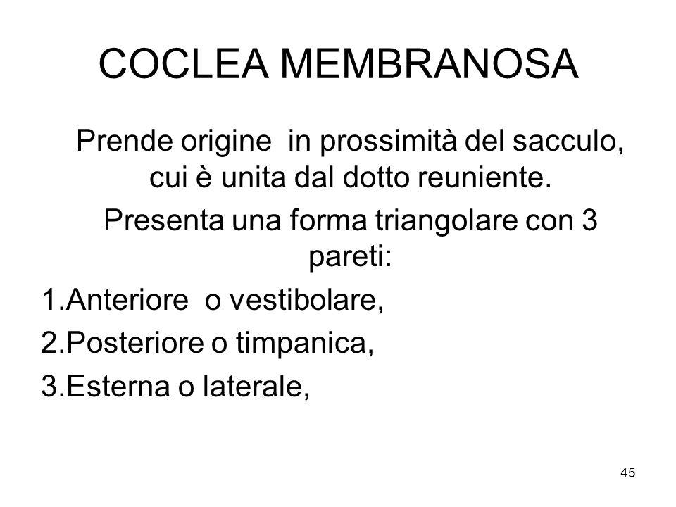 COCLEA MEMBRANOSA Prende origine in prossimità del sacculo, cui è unita dal dotto reuniente. Presenta una forma triangolare con 3 pareti: 1.Anteriore