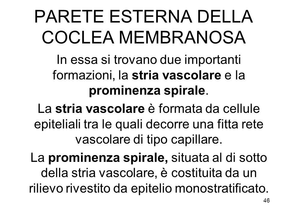 PARETE ESTERNA DELLA COCLEA MEMBRANOSA In essa si trovano due importanti formazioni, la stria vascolare e la prominenza spirale. La stria vascolare è