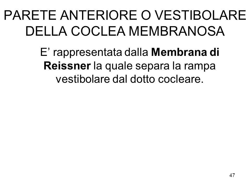 PARETE ANTERIORE O VESTIBOLARE DELLA COCLEA MEMBRANOSA E' rappresentata dalla Membrana di Reissner la quale separa la rampa vestibolare dal dotto cocl