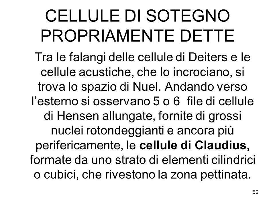 CELLULE DI SOTEGNO PROPRIAMENTE DETTE Tra le falangi delle cellule di Deiters e le cellule acustiche, che lo incrociano, si trova lo spazio di Nuel. A