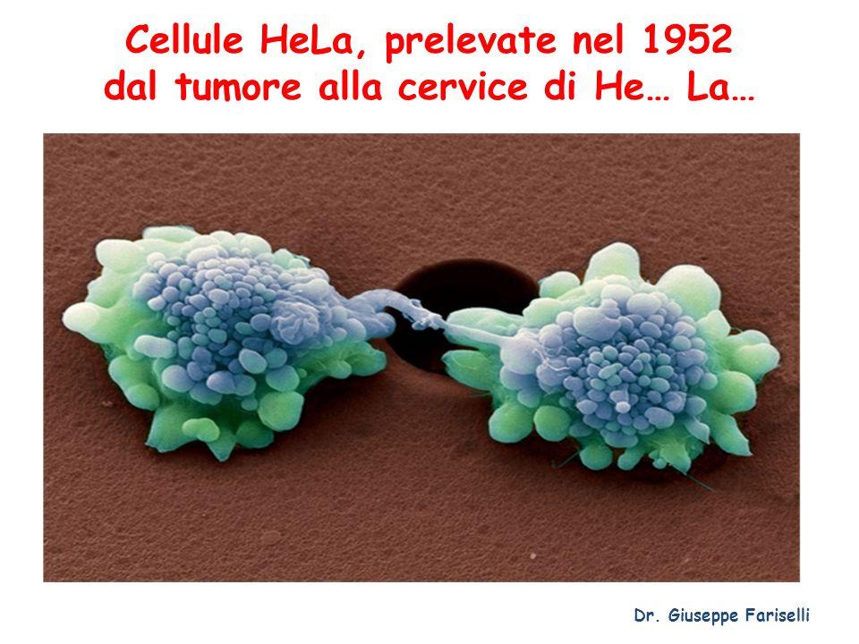 Cellule HeLa, prelevate nel 1952 dal tumore alla cervice di He… La… Dr. Giuseppe Fariselli