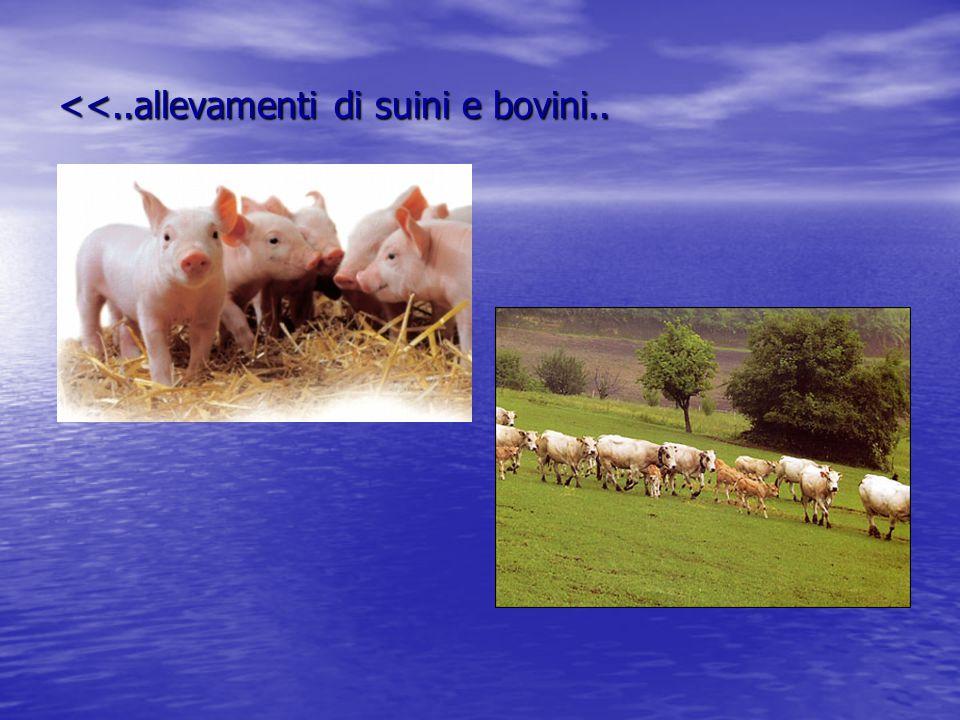 <<..allevamenti di suini e bovini..