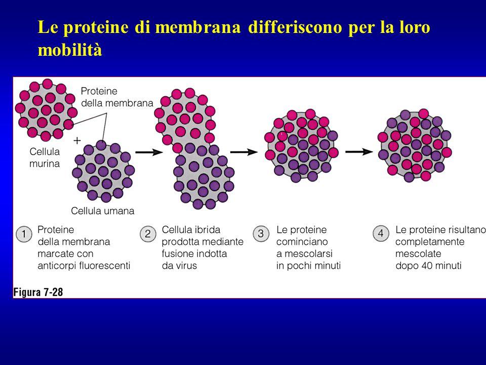 Le proteine di membrana differiscono per la loro mobilità