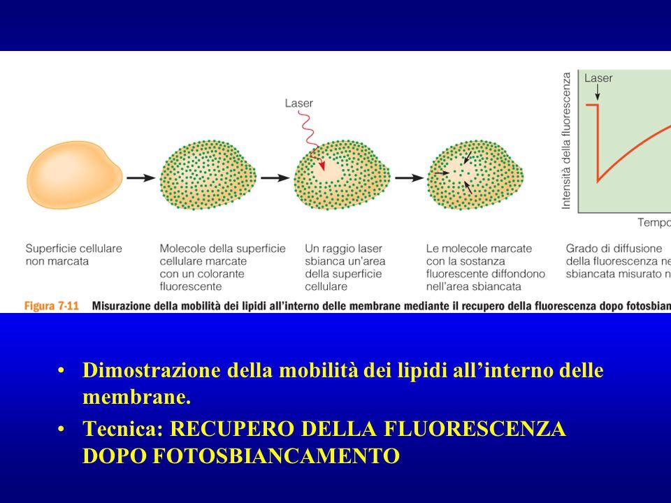 Dimostrazione della mobilità dei lipidi all'interno delle membrane. Tecnica: RECUPERO DELLA FLUORESCENZA DOPO FOTOSBIANCAMENTO