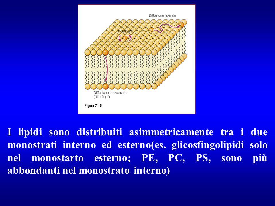 I lipidi sono distribuiti asimmetricamente tra i due monostrati interno ed esterno(es. glicosfingolipidi solo nel monostarto esterno; PE, PC, PS, sono