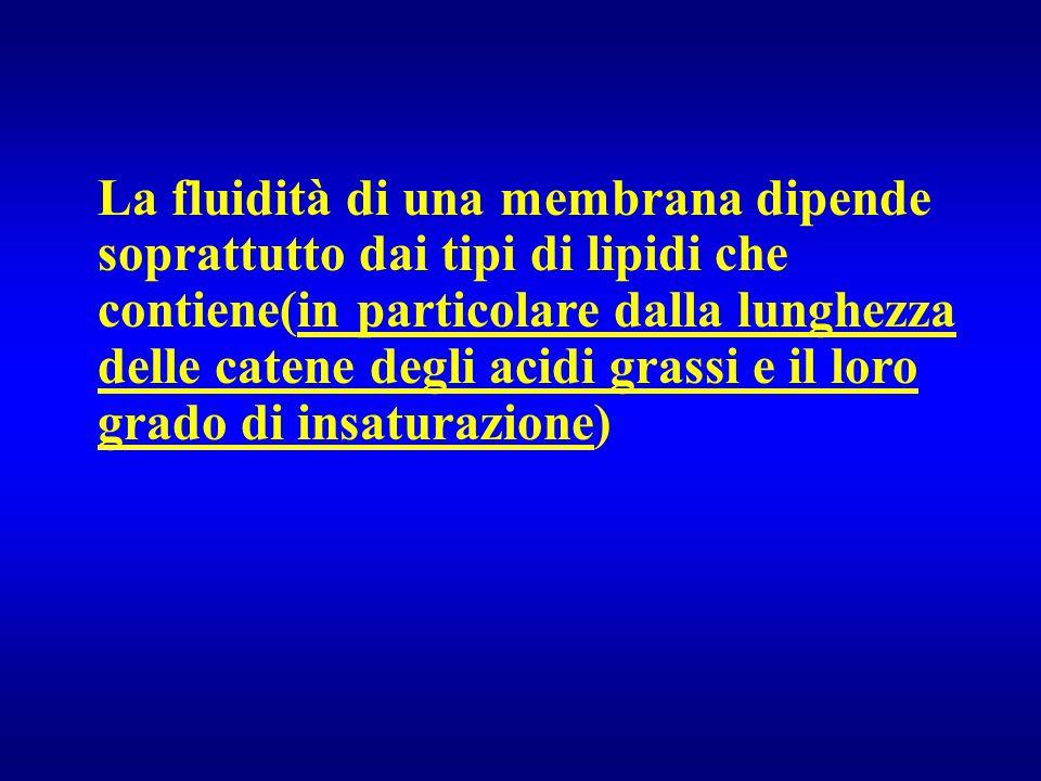 La fluidità di una membrana dipende soprattutto dai tipi di lipidi che contiene(in particolare dalla lunghezza delle catene degli acidi grassi e il lo