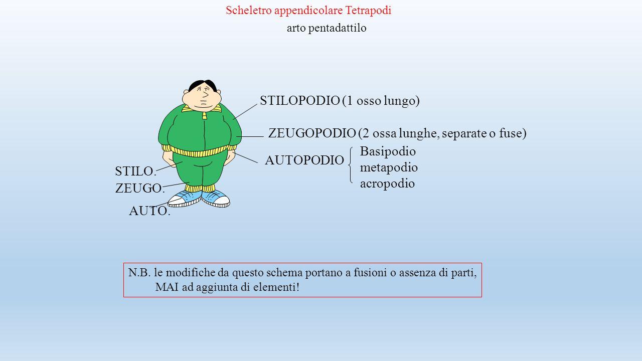 Scheletro appendicolare Tetrapodi arto pentadattilo STILOPODIO (1 osso lungo) ZEUGOPODIO (2 ossa lunghe, separate o fuse) AUTOPODIO Basipodio metapodi
