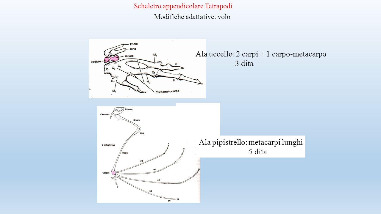 Scheletro appendicolare Tetrapodi Modifiche adattative: volo Ala uccello: 2 carpi + 1 carpo-metacarpo 3 dita Ala pipistrello: metacarpi lunghi 5 dita