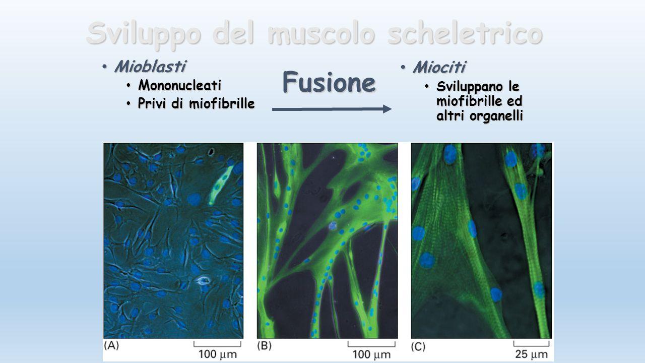 Sviluppo del muscolo scheletrico Mioblasti Mioblasti Mononucleati Mononucleati Privi di miofibrille Privi di miofibrille Miociti Miociti Sviluppano le