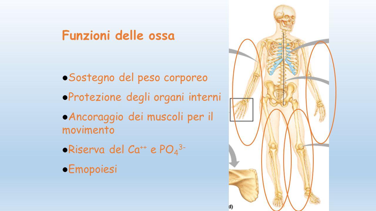 Funzioni delle ossa Sostegno del peso corporeo Protezione degli organi interni Ancoraggio dei muscoli per il movimento Riserva del Ca ++ e PO 4 3- Emo