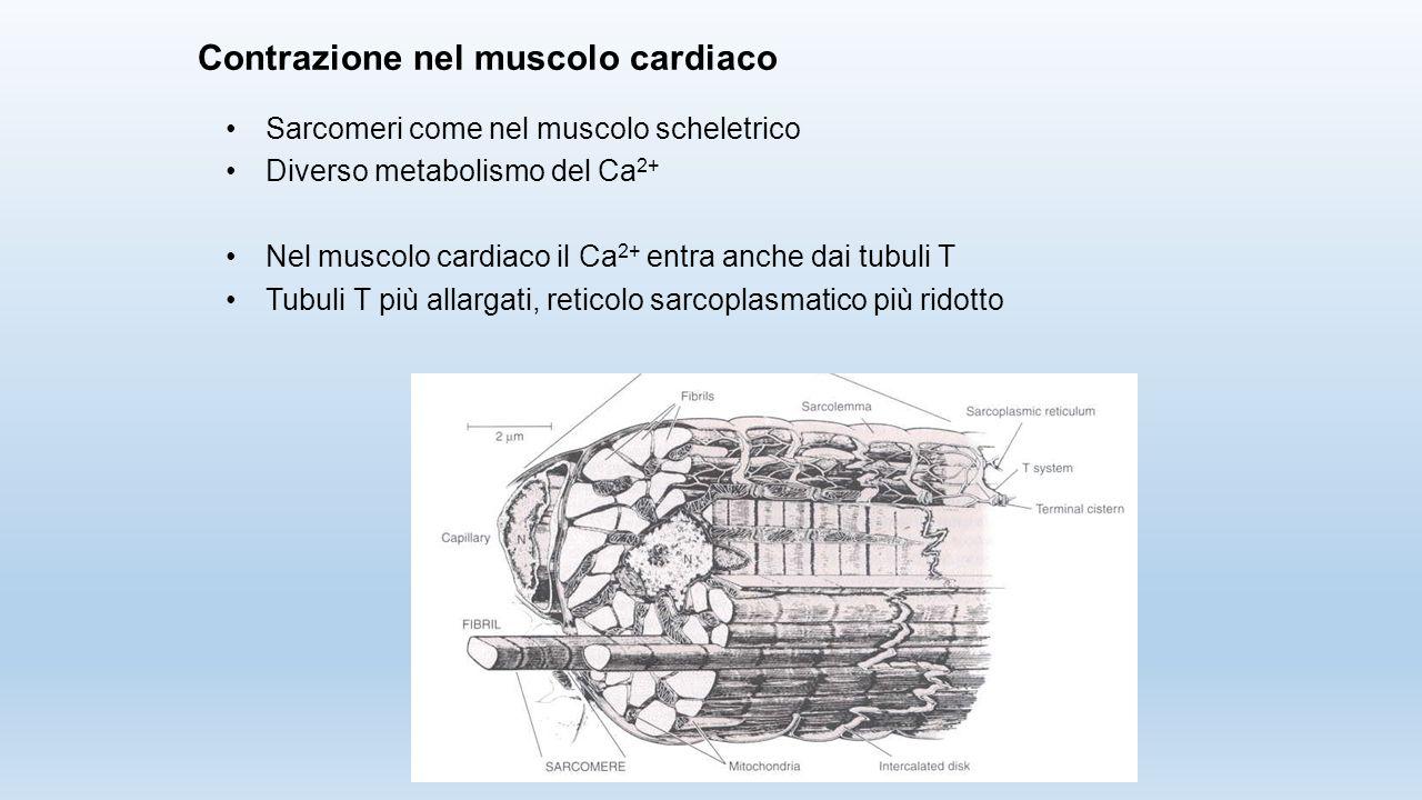 Contrazione nel muscolo cardiaco Sarcomeri come nel muscolo scheletrico Diverso metabolismo del Ca 2+ Nel muscolo cardiaco il Ca 2+ entra anche dai tu