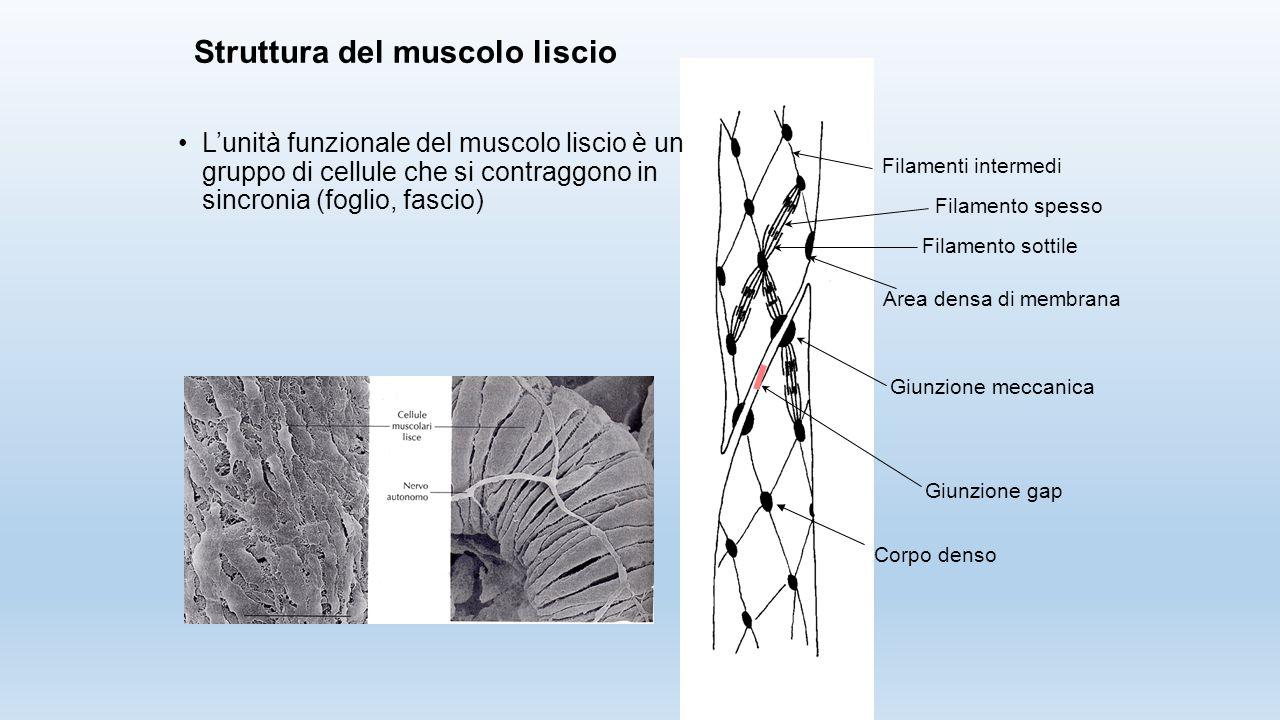 L'unità funzionale del muscolo liscio è un gruppo di cellule che si contraggono in sincronia (foglio, fascio) Filamenti intermedi Filamento spesso Fil