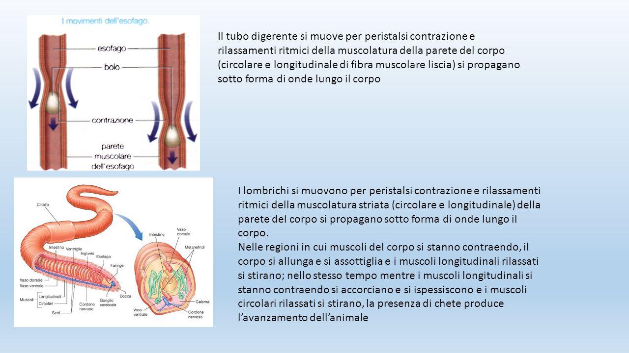 I lombrichi si muovono per peristalsi contrazione e rilassamenti ritmici della muscolatura striata (circolare e longitudinale) della parete del corpo