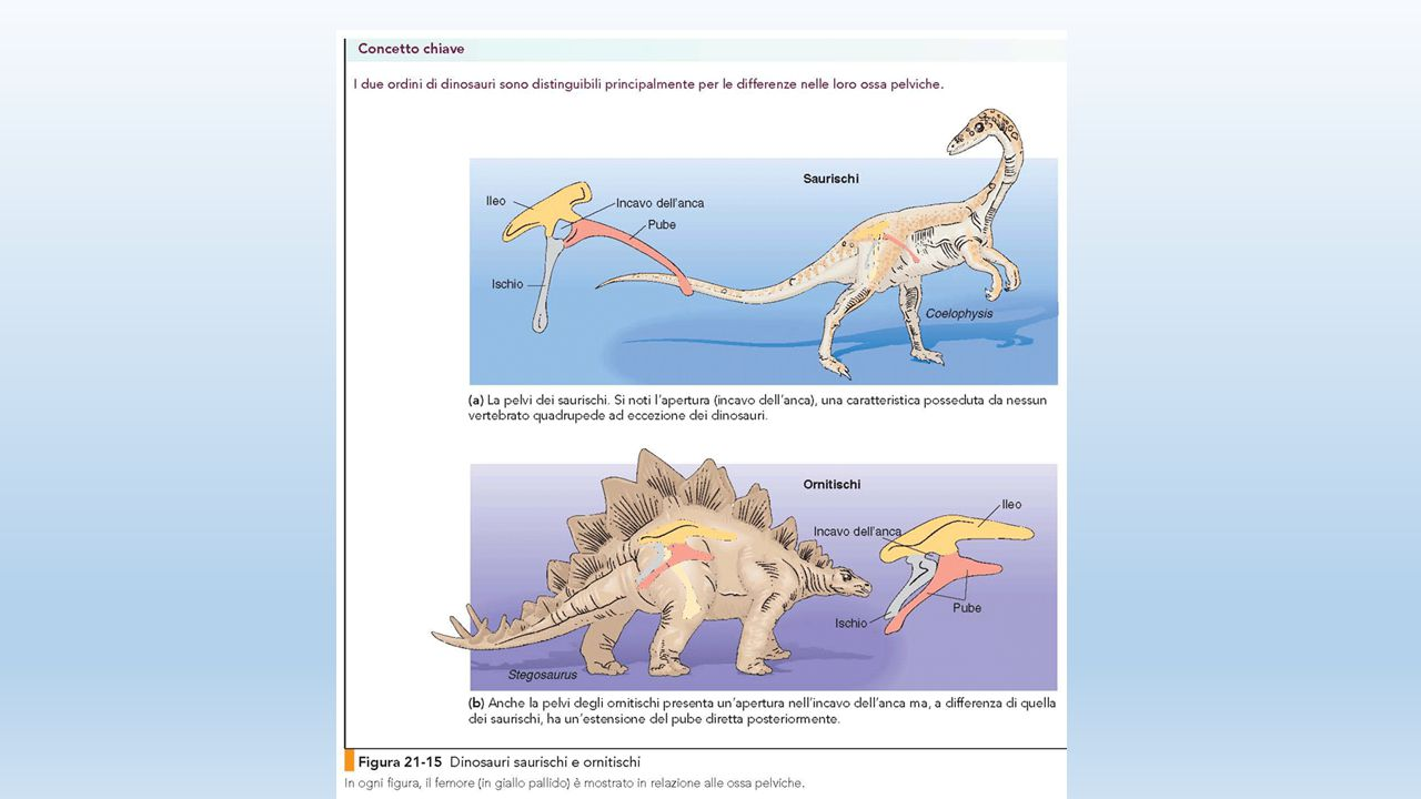 Verso il bipedismo Basiliscus Chlamydosaurus