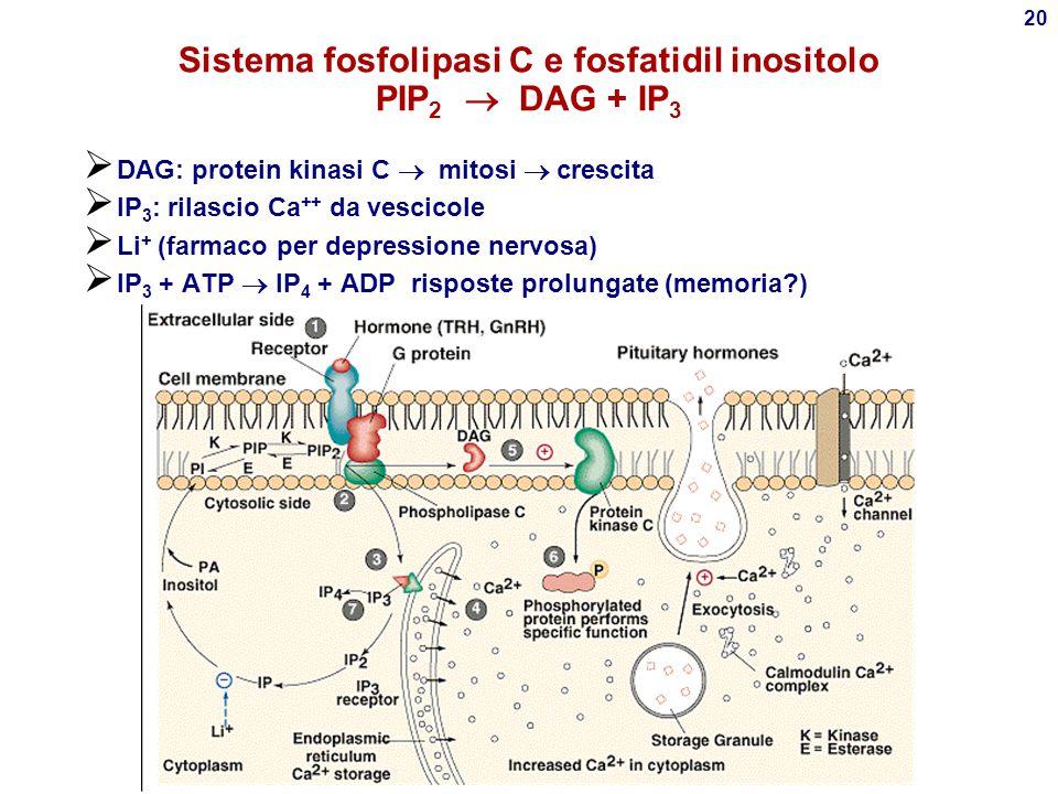 19 Idrolisi di PIP 2 IP 3  reticolo endoplasmico Mobilizzazione di Ca ++ DAG, Attiva protein kinasi C
